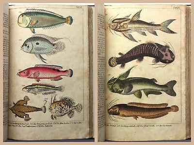 Reichenbach Die Fische Fischkunde Ichthyologie kolorierte Tafeln Bilder 1840 xz